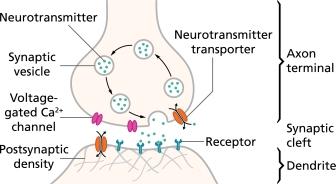Synapse-QBI-brain-neuroscience